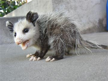 petey-the-possum.JPG