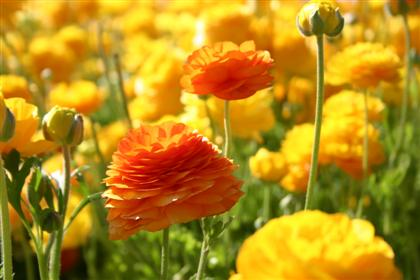 flower-fields-close-up-2-small.jpg