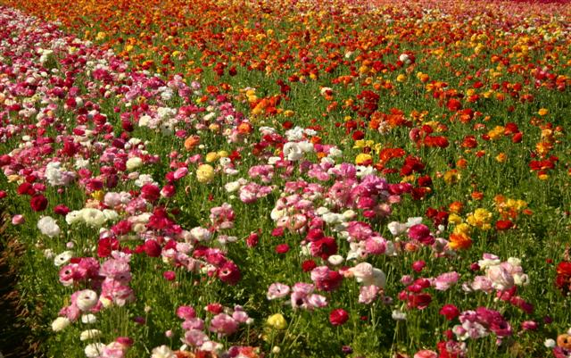 flower-fields-multi-pinks-small.jpg